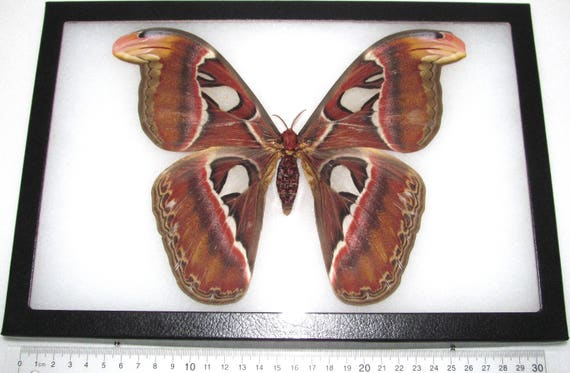 Real Framed Saturn Moth Attacus Atlas Female Snake Mimic Saturniidae Indonesia