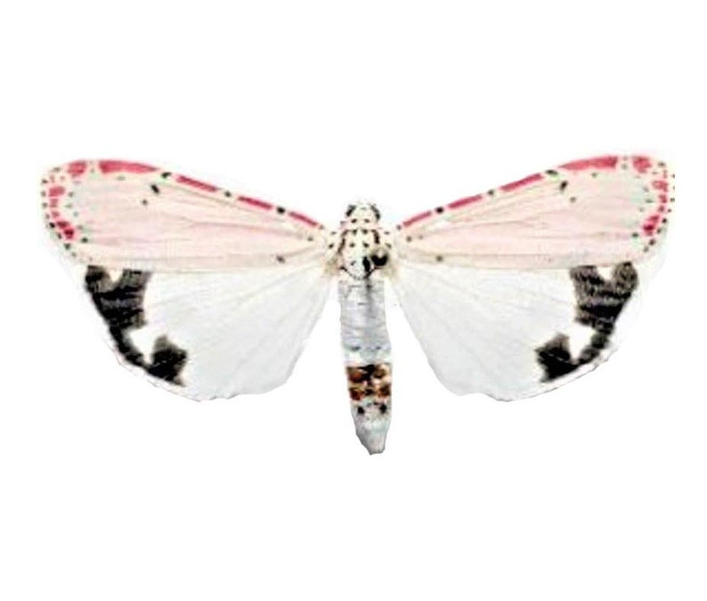 One Real moth pink Utethesia ornatrix
