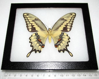 Real yellow Arizona giant swallowtail papilio cresphontes verso framed butterfly insect