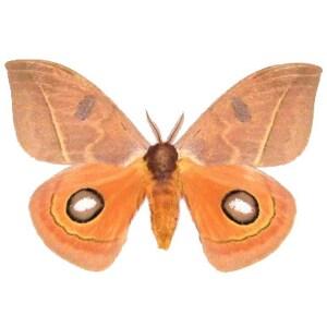 One Real Saturn Moth Pink Automeris Pamina Arizona Unmounted Wings Closed
