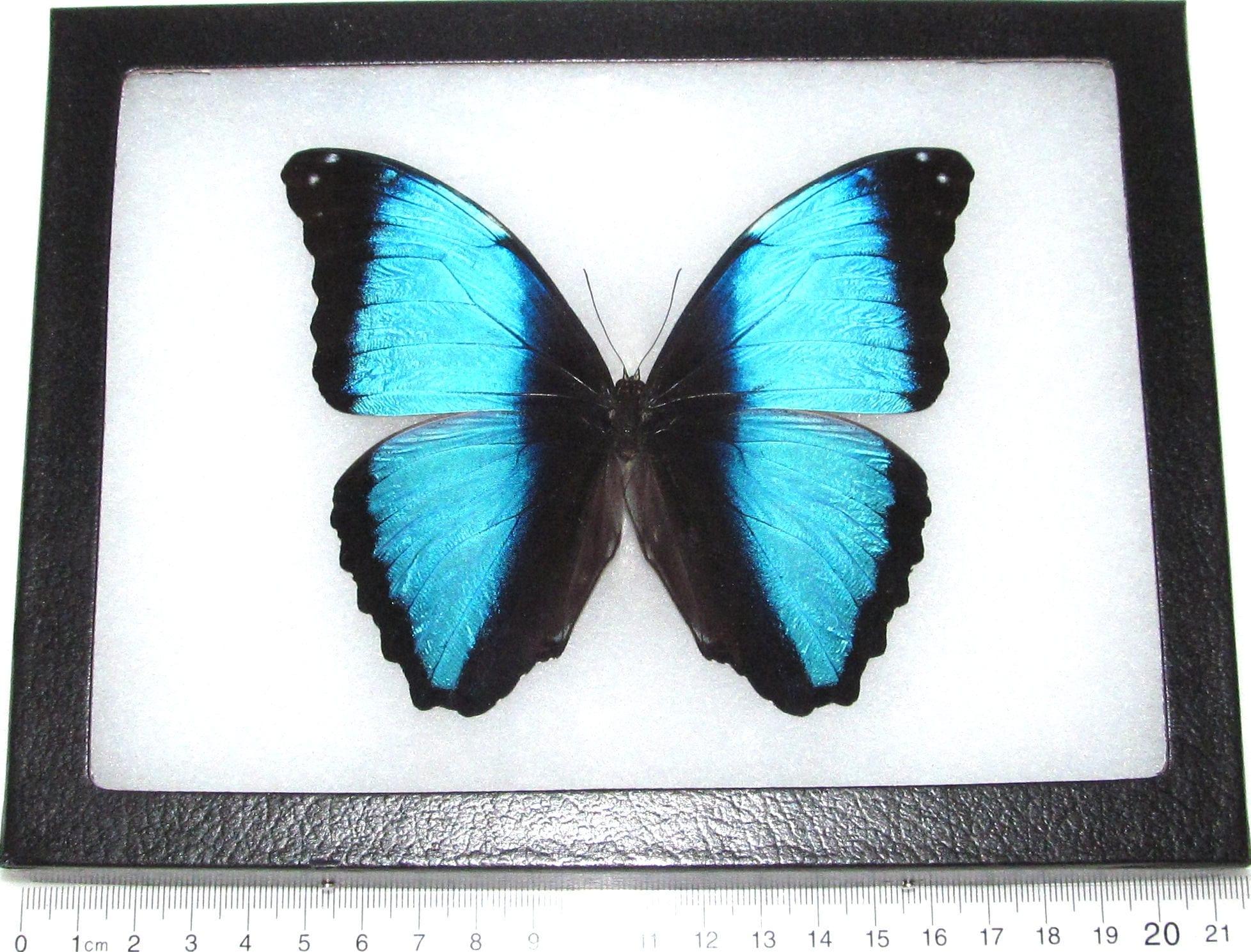 Echte gerahmt Schmetterling blauen Morpho Deidamia Peru | Etsy