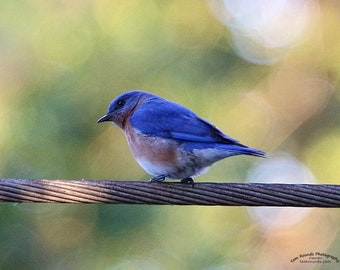 Eastern Bluebird Male, Nature Photography, Bluebird On My Wire