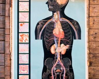 Vintage Belgian School Chart of Human Organs