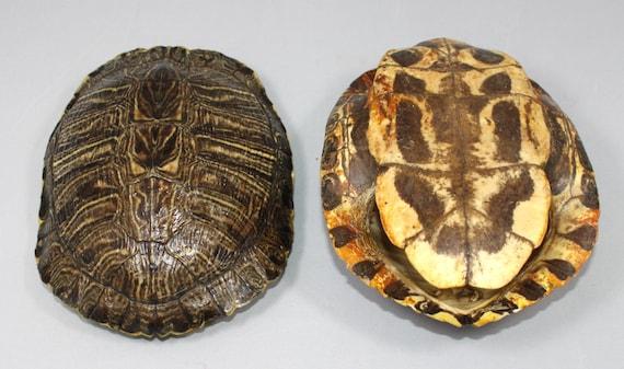 il più economico bellissimo stile grande sconto di vendita Guscio di tartaruga