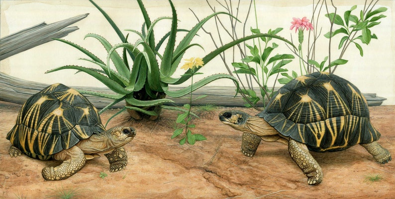 Radiated Tortoises  20 x 10 inch limited edition print by image 0