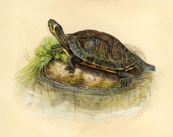 Yellow-bellied Slider - 8x10 inch print by Matt Patterson, turtle print, natural history art