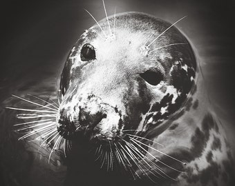 Black and white Photography,Sea Lion Photography,Seal Print,Harbour Seal Photography,Marine Mammal Photography,Sea Lion Wall Decor,