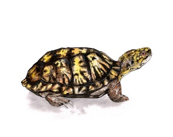 Eastern Box Turtle, 8x10'' print