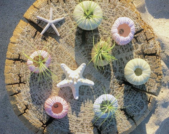 Sea Urchin Air Plants / Beach Decor / Wedding Decor / Beach Wedding / Wedding Favors / Dorm Room /Beach Plants