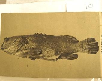 Vintage Miami Florida Postcard with a Jewfish
