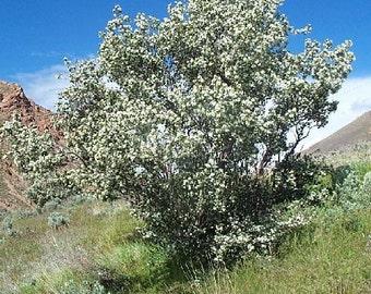 50 Utah Serviceberry Seeds, Amelanchier utahensis