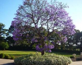50 Blue Jacaranda Tree Seeds, Jacaranda Mimoisaefolia