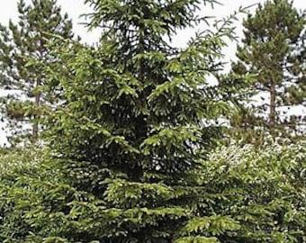 50 Norway Spruce Tree Seeds, Picea Abies