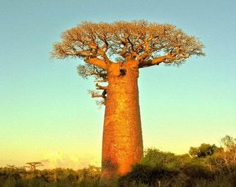 Baobab Tree Seeds, 25 Seeds, Adansonia digitata - [Free Shipping]