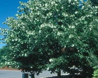Silver Linden Tree Seeds, Tilia tomentosa - 25 Seeds