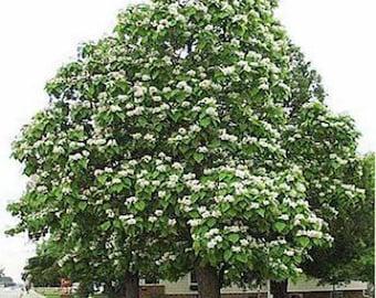 100 Northern Catalpa Tree Seeds, Catalpa speciosa