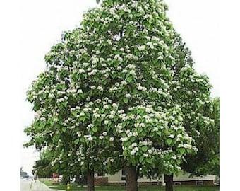 10 Northern Catalpa Tree Seeds, Catalpa speciosa
