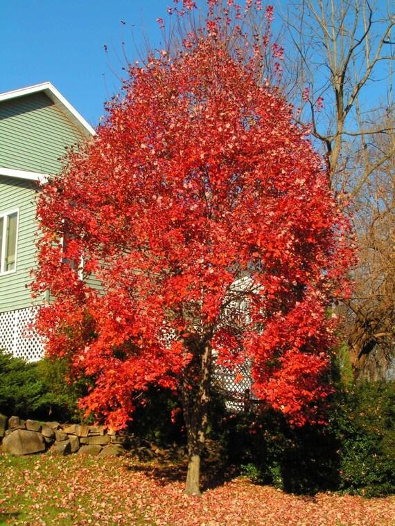 Red Maple Tree Seeds Acer Rubrum Wings 25 Seeds Etsy