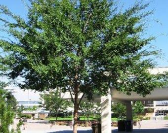 100 Chinese Elm Tree Seeds, Ulmus Parvifolia