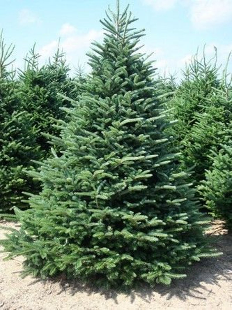 50 Fraser Fir Tree Seeds Abies Fraseri Etsy