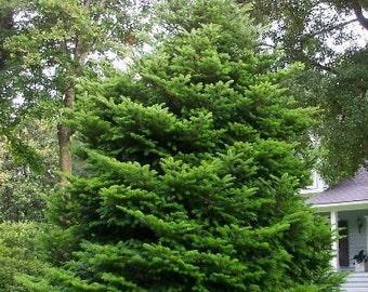 50 Momi Fir Tree Seeds, Abies firma