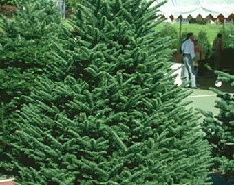 50 Noble Fir Tree Seeds, Abies procera