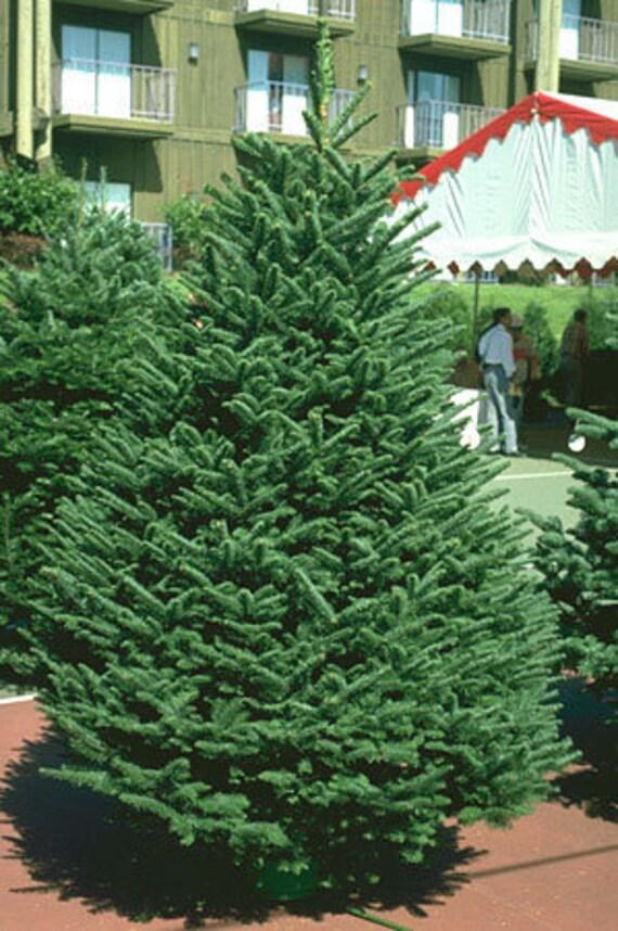 Christmas Tree Seeds.50 Noble Fir Tree Seeds Abies Procera