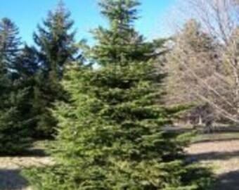 500 Silver Fir Tree Seeds, Abies alba