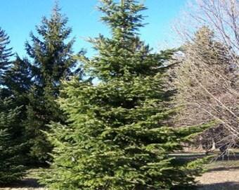 100 Silver Fir Tree Seeds, Abies Alba