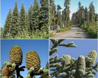 10 Shasta Red Fir Tree Seeds, Abies magnifica shastensis