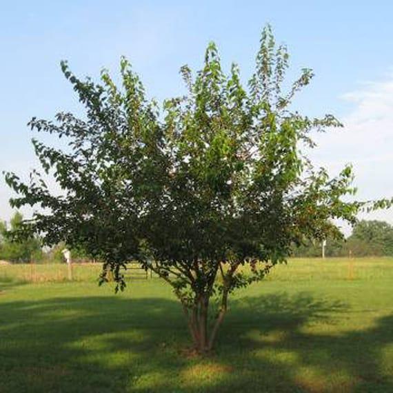 100 Red Mulberry Tree Seeds Morus Rubra   Etsy