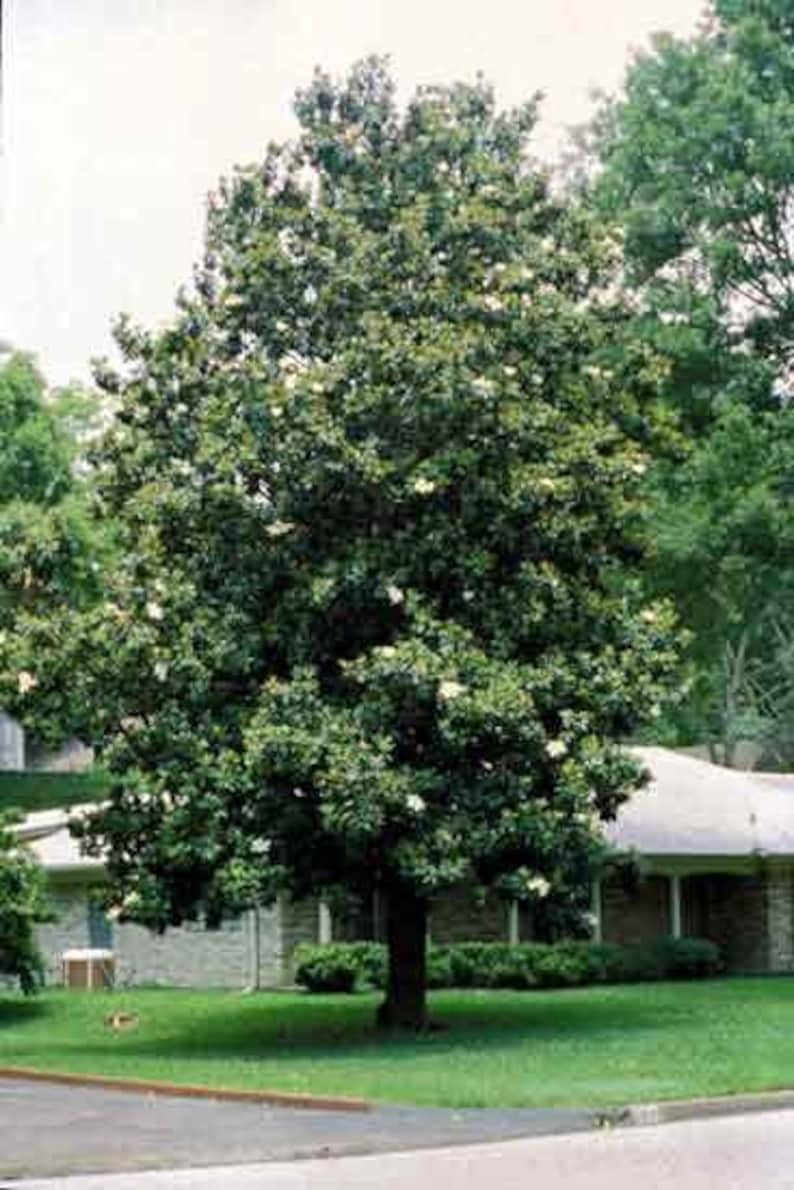 50 Sweetbay Magnolia Tree Seeds Magnolia Virginiana Etsy