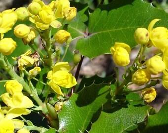 Oregon Grape Holly Seeds, Mahonia aquifolium - 25 Seeds