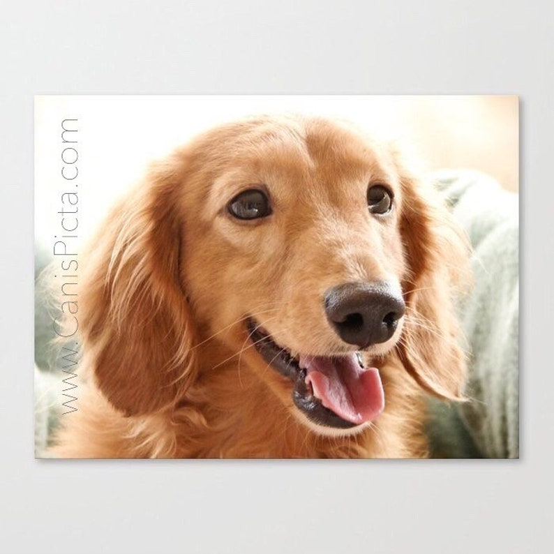 Dachshund Smile On 10x8 Pop Art Photography Print image 0
