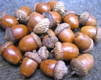 35 pcs real oak acorn caps large dried acorn tops