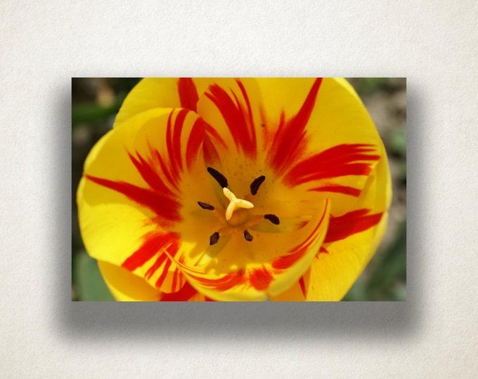 Fire Tulip Canvas Art, Tulip Wall Art, Yellow Flower Canvas Print, Close Up Wall Art, Photograph, Canvas Print, Home Art, Wall Art Canvas