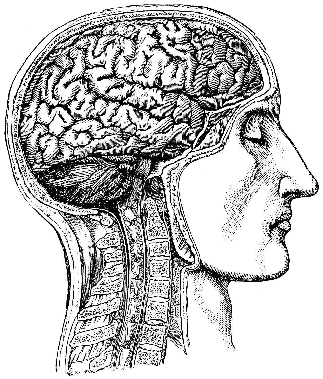 Human Brain Anatomical Medical Skull Anatomy 54 Etsy