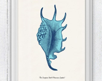 Sea shell Pterothera  Sea life print -  seashells wall art home decor -A 4 print SAS219