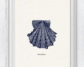 Vintage sea shell Spectenfolia- Vintage sea shell print-  seashells wall art home decor -A 4 print- sea life SAS238