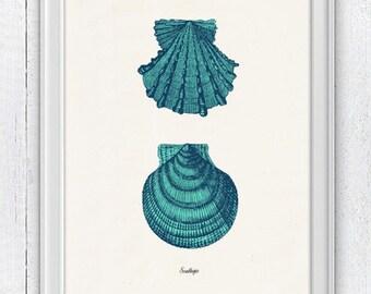 Vintage sea shell Sallops  - Vintage sea shell print-  seashells wall art home decor -A 4 print SAS233