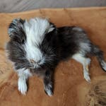 Baby Guinea Pig Lifesize Mount Taxidermy Sculpture