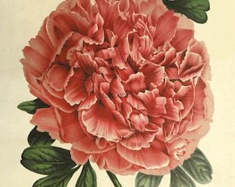 Vintage Botanical Peony Digital Download Printable Wall Art Graphic Image