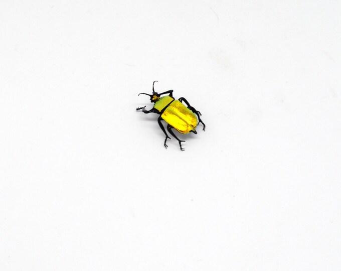 30-12 Costa Rican Golden Beetle