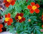 Marigold French Fiesta, Repels Rabbits and Deer, Container Plant, 25 Seeds