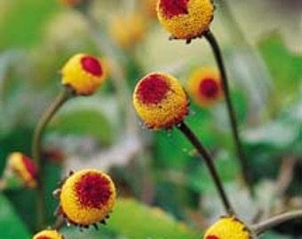 Toothache Seeds, Herbal, Natural Remedies, Numbing Qualities, Peek A Boo Plant, 25 Seeds