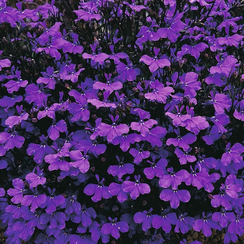 Lobelia Crystal Palace Great For Rock Borders Flower 25 Etsy