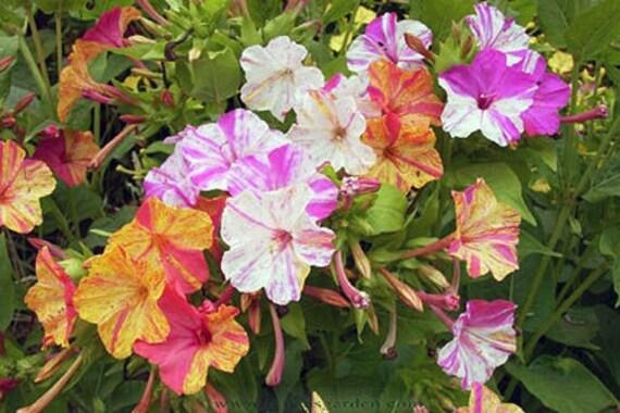 four o clock seeds marvel of peru flower unique four etsy