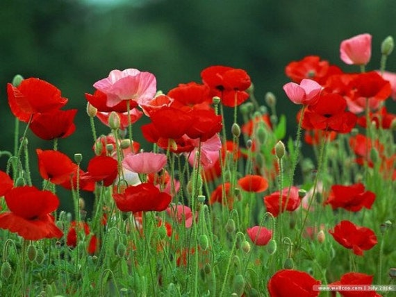 Bulk 500 Seeds Poppy Red And Pink Poppy Flowers Reseeds Etsy