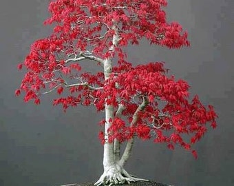 Japanese Maple Bonsai Tree Seeds, Bonsai Tree, Home or Office Decor, Mini Tree, Grow Your Own, Acer rubrum, 5 Seeds