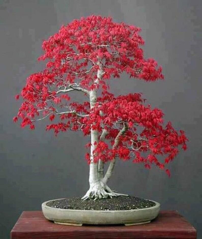 Japanese Maple Bonsai Tree Seeds Bonsai Tree Home Or Office Etsy